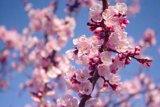 An Apricot tree